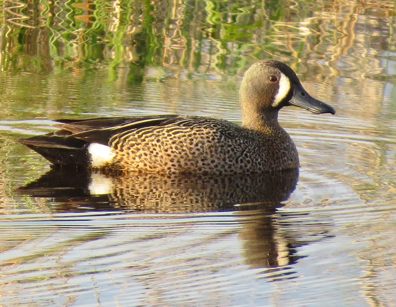 MALE TEAL