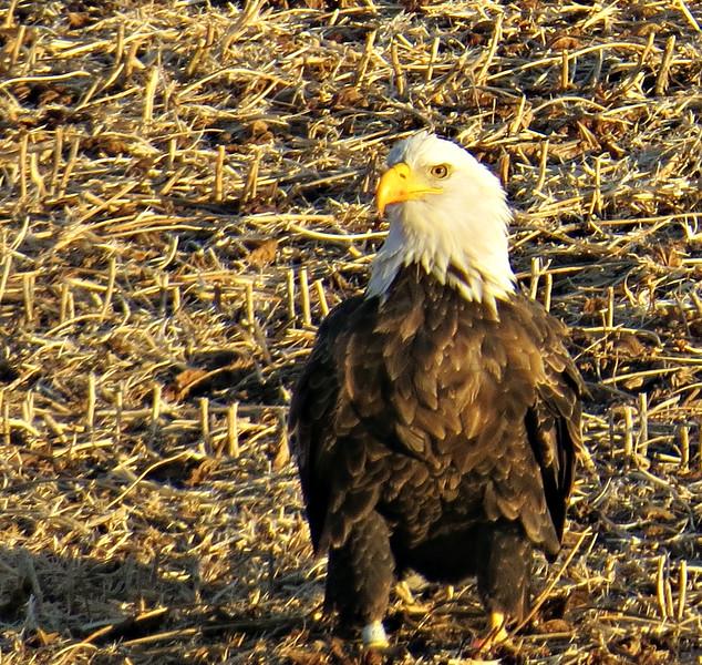 EAGLE ON GROUND