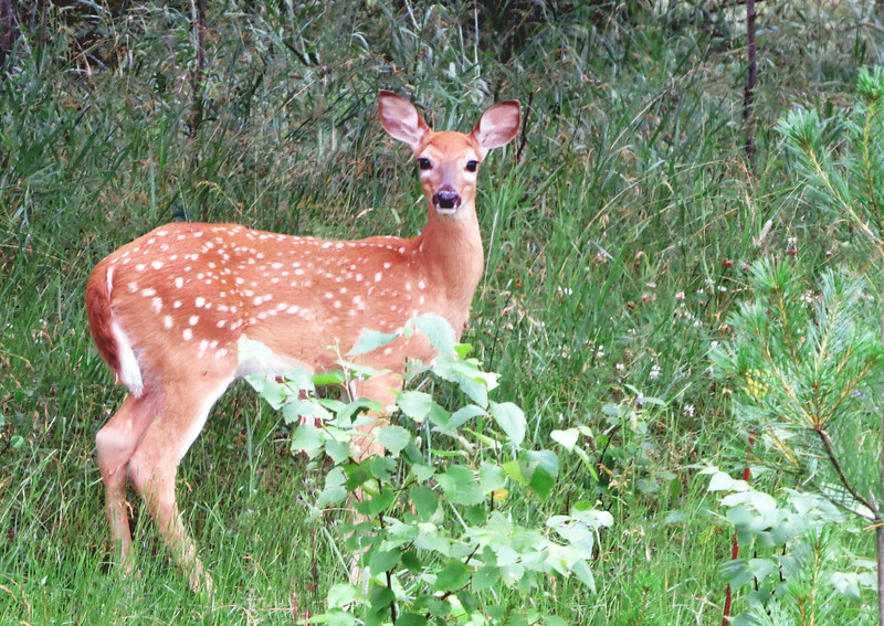 FAWN WATCHFUL