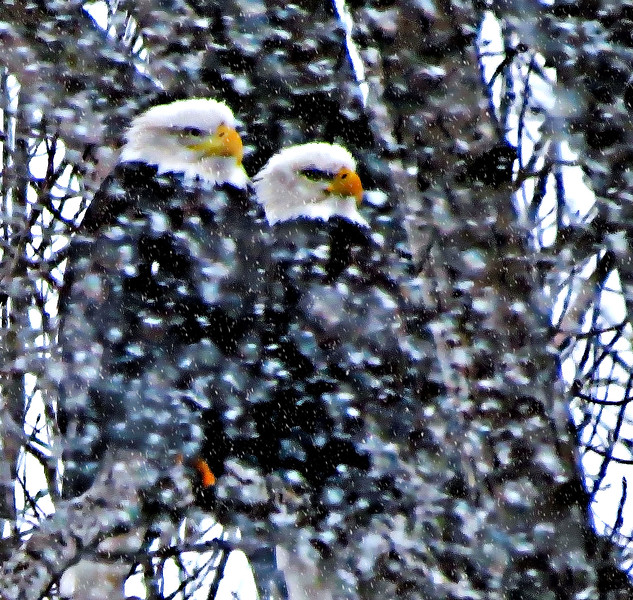 TWO EAGLES IN STORM