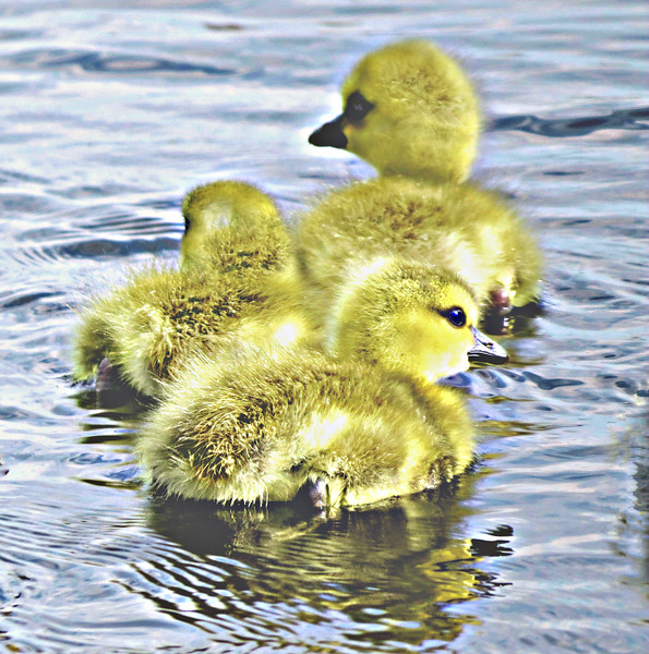 ADORABLE BABY GEESE