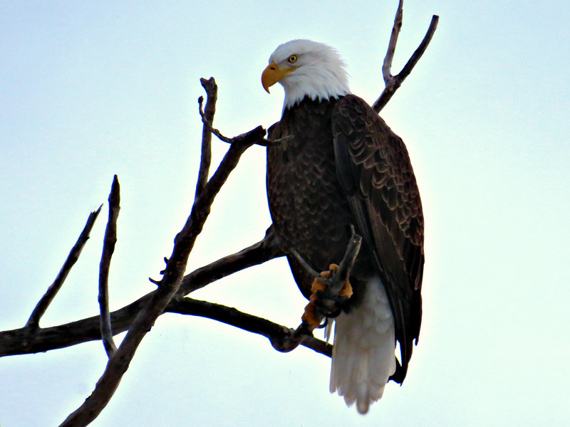 EAGLE IN TREE WARILY