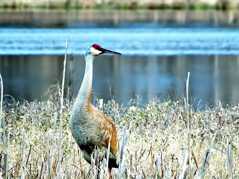 Adult Sandhill Crane