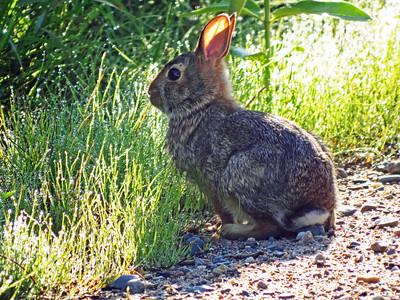 Tiny Bunny