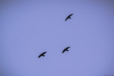 Ravens* (not crows!) over Harris ...