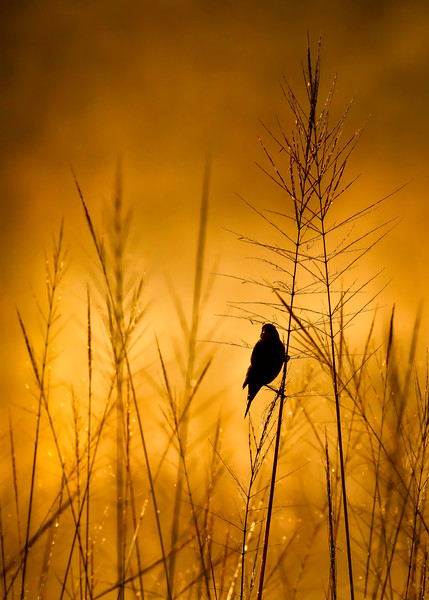 GOLDEN SOLITUDE ~National Audubon top 100 2017