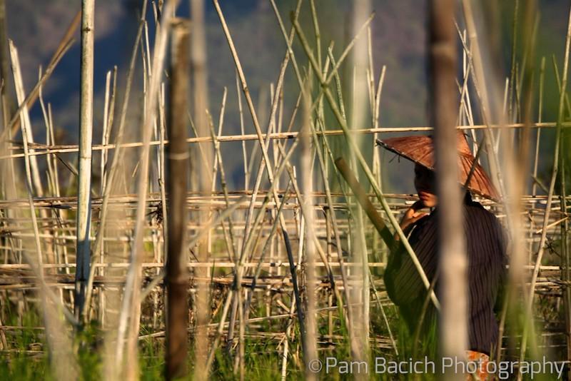 Bamboo Fields