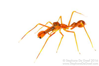 Ant-mimicking jumping spider (Myrmarachne plataleoides, Salticidae) - Male