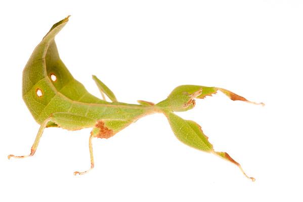 A leaf insect (Phasmoptera Phylliidae) found near Phnom Bok, Cambodia.