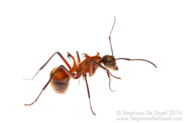 Fish-hook ant (Polyrhachis bihamata, Formicidae)