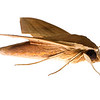 Sphinx moth (Lepidoptera Sphingidae)