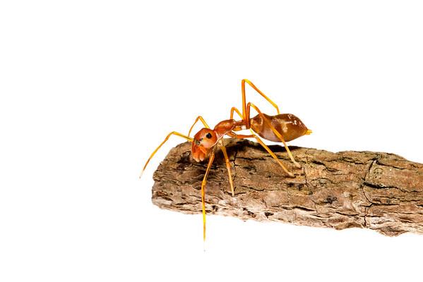 Ant-mimicking jumping spider (Myrmarachne plataleoides, Salticidae) - Female