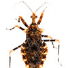 Assassin bug (Hemiptera Reduviidae)
