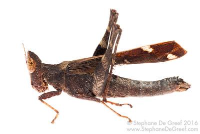 Grasshopper (Erianthus versicolor, Chorotypidae) - Female