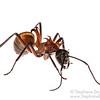 Fish-hook ant (Polyrhachis bihamata, Formicidae)