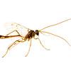Ichneumon wasp (Enicospilus sp., Ichneumonidae)