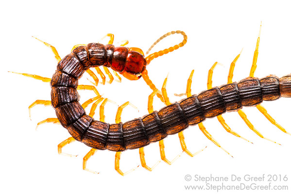 Orange-legged centipede (Myriapoda Chilopoda)