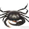 Forest crab (Somanniathelphusa sp)