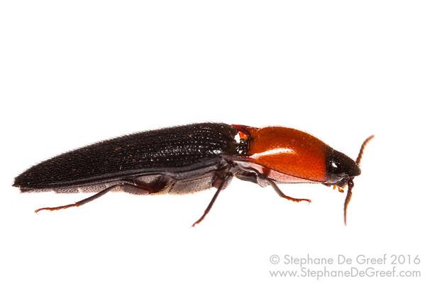 Click Beetle (Elateridae)