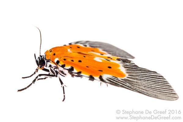 Orange Moth (Noctuidae Aganainae)
