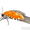 Orange Moth (Noctuidae Aganainae)