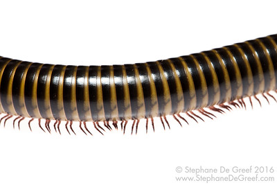 Giant forest millipede (Myriapoda Diplopoda)