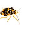 Orange Shield bug (Heteroptera Pentatomidae)