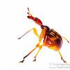 Leaf-rolling weevil (Korotyaevirhinus sp, Attelabidae)