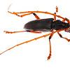 Longhorn beetle (Coleoptera Cerambycidae)