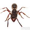 Bothroponera ant (Bothroponera sp, Formicidae)
