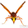 Potter wasp (Delta sp, Eumeninae)