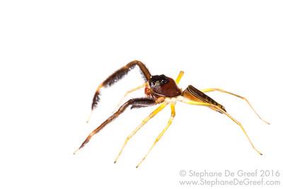 Cambodian jumping spider (Salticidae)