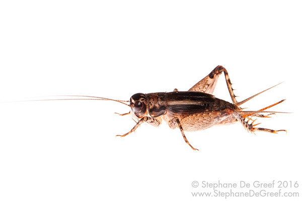 Cambodian cricket (Orthoptera Grillidae)