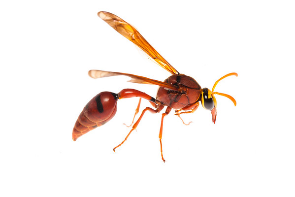 Cambodian wasp