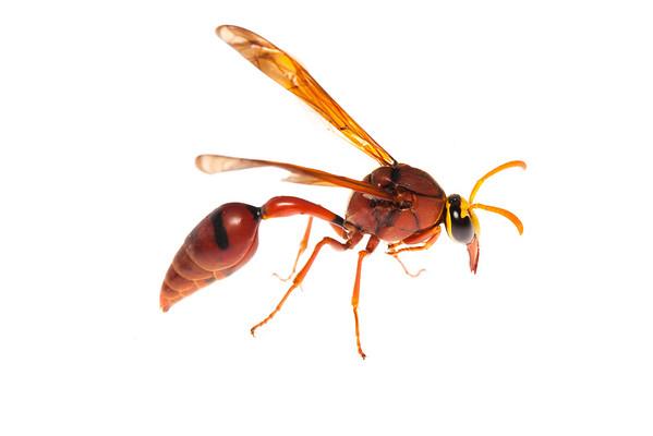 Cambodian wasp