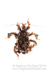 Dirt bug (Hemiptera Reduviidae)