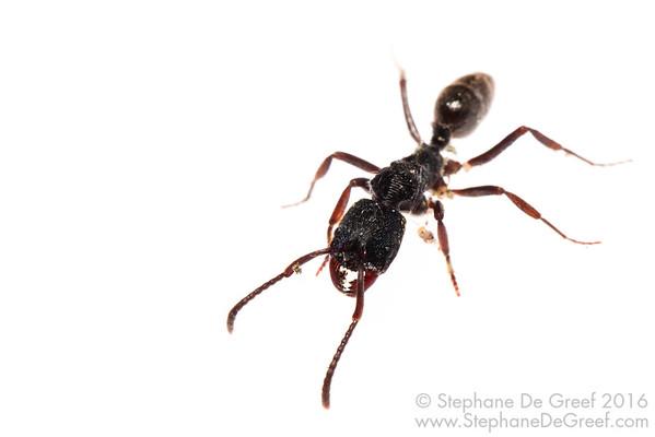 Odontoponera ant