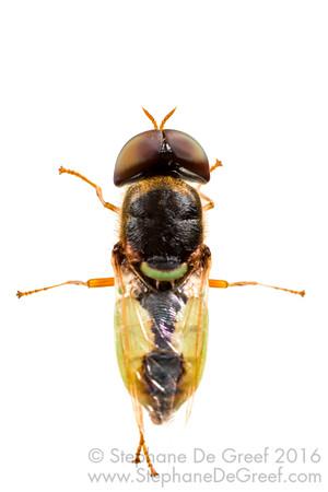 Green soldier fly (Stratiomyidae)