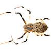 Herennia spider (Herennia sp, Nephilidae)