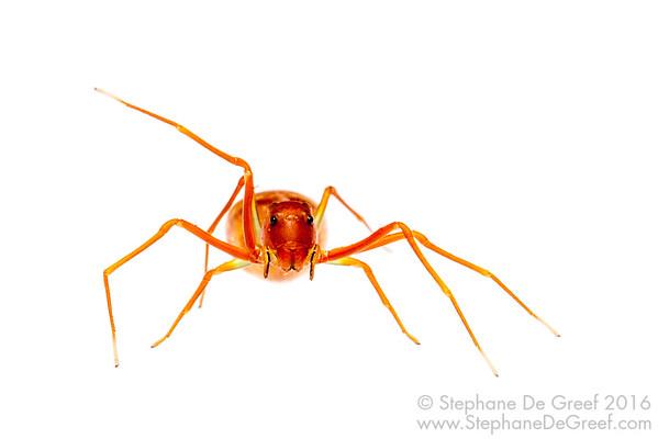 Ant-mimicking crab spider (Amyciaea sp, Thomisidae)