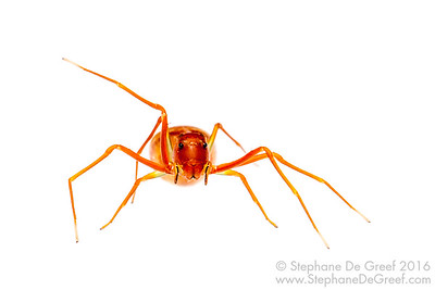 Ant-mimicking crab spider (Amyciaea sp, Thomisidae)