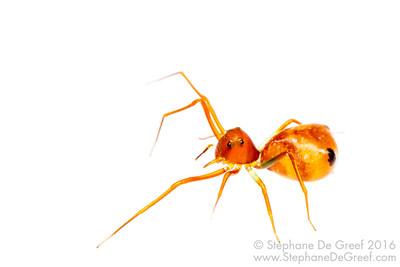 Amyciaea lineatipes (Thomisidae)