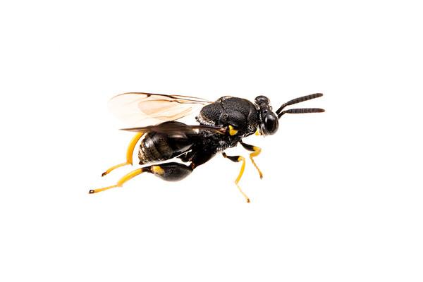 Chalcid wasp (Brachymeria sp.)