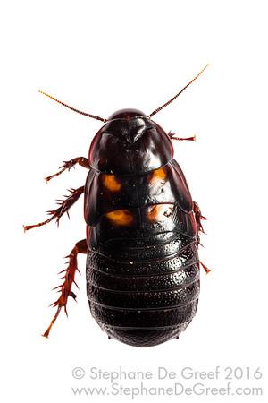 Large Forest Cockroach (Blattodea)