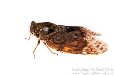 Cambodian cicada (Hemiptera Cicadidae)