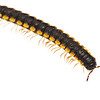 Yellow-dotted millipede (Anoplodesmus sp, Paradoxosomatidae)