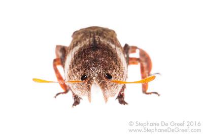 Ancyra Planthopper (Ancyra sp, Eurybrachidae)