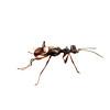 A Dryinid wasp (Dryinidae)