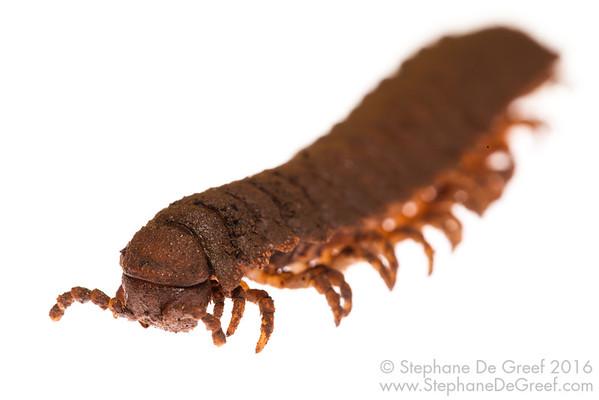 Cambodian millipede (Myriapoda Diplopoda)