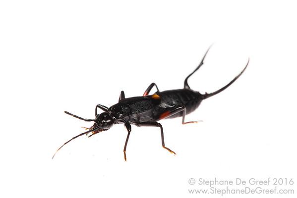 Male earwig (Dermaptera)